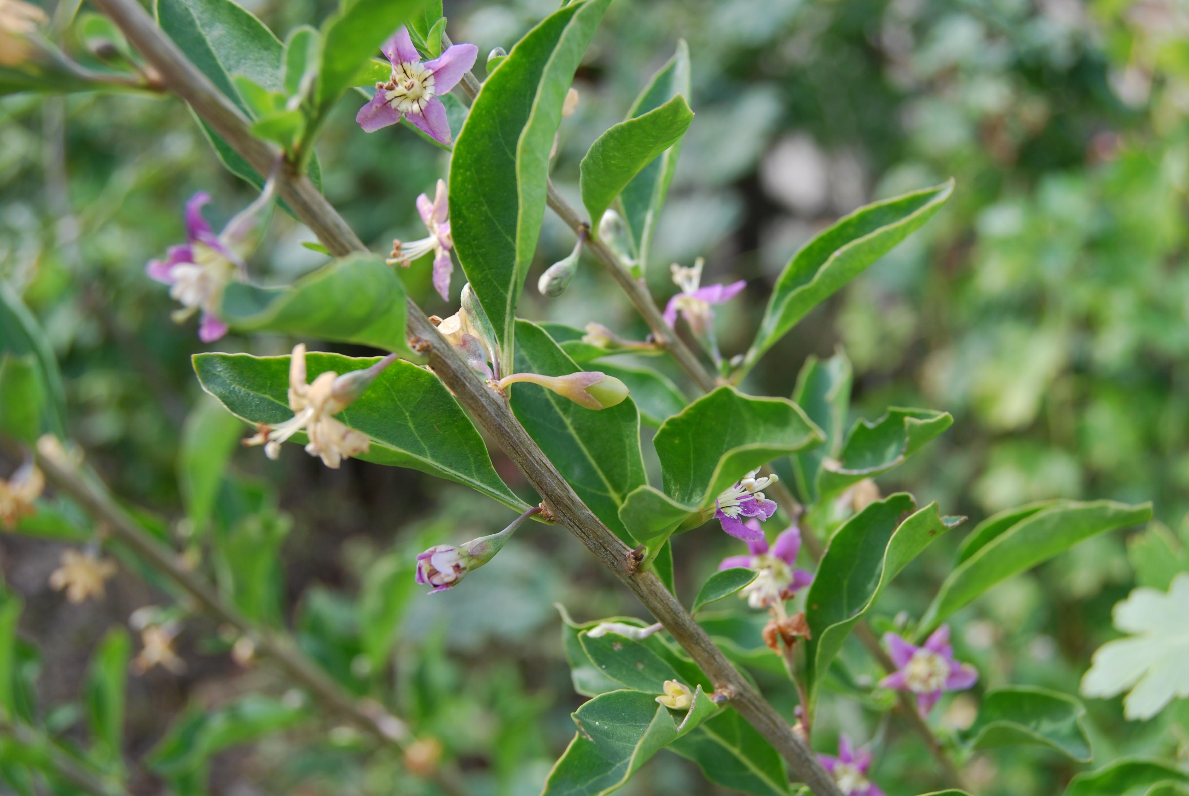 Goji Pflanzen schneiden und pflegen