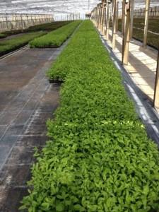 Goji Pflanzen