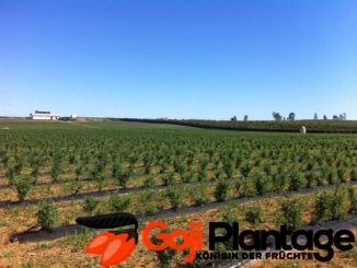 Goji Beeren Plantagen Anbau