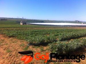 Goji Plantagen Anbau