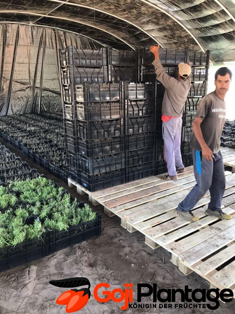Goji Plantage Marokko Goji Pflanzen