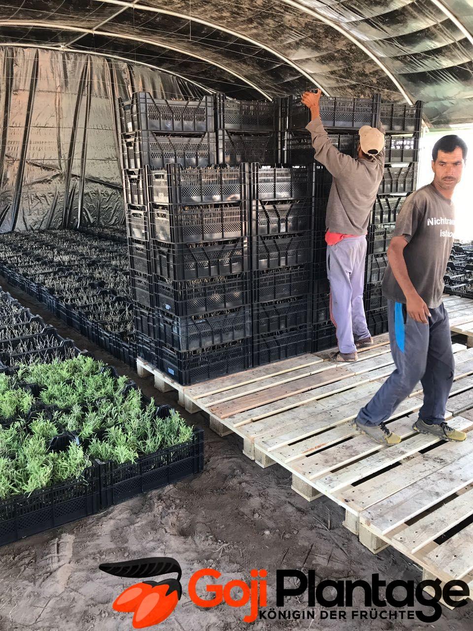 goji plantage marokko goji plantage. Black Bedroom Furniture Sets. Home Design Ideas