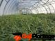 Goji Pflanzen Aufzucht