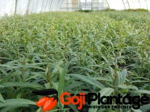 Goji Plantagen Pflanzen