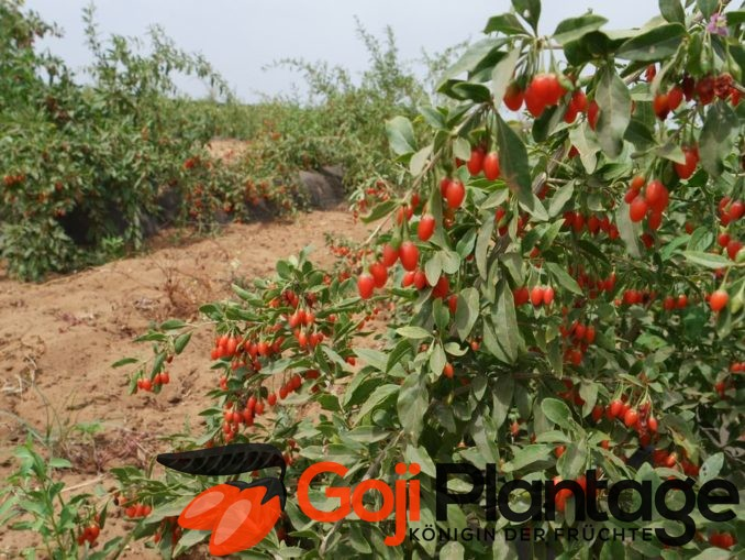 Goji Pflanzen kaufen